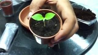 زراعة بذور العنب -grape gr...