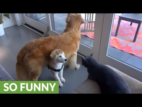 This clever puppy attacks the cat from underneath his dad's protection