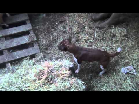 Severn Valley Ratters|Mayhem In The Bales|Episode 3| 300 Rats Killed - Ratting With Terriers
