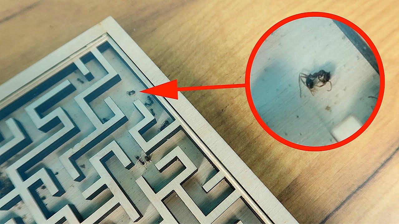 В Лабиринте полно мертвых муравьев! Почему это произошло?