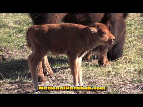 Adorable 1 Day Old Baby Bison in Yellowstone Park - Cute Baby Animals in [HD]