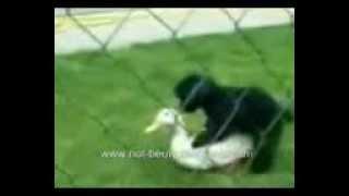 смешное видео Собака любит гуся.mp4