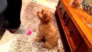 Puppy Training! Our 2 Month Old Cavoodle Puppy Showing Off Sit, Drop, Shake, Turn Around And 'up'.