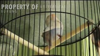 Pancingan lovebird ngekek untuk merangsang bunyi langsung ngekek panjang