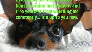How To Potty Train A Miniature Pinscher Puppy, Min Pin Housetraining Methods Best For Your Lifestyle