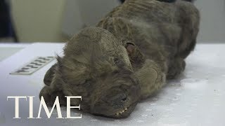 Russian Scientists Show Off 18,000-Year-Old Prehistoric Puppy Preserved In Permafrost   TIME
