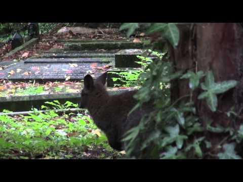 Highgate Cemetery Wallaby