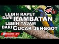 Cucak Cungkok Isian Full Rambatan Jenggot Suara Masteran Burung Paling Tajam  Mp3 - Mp4 Download