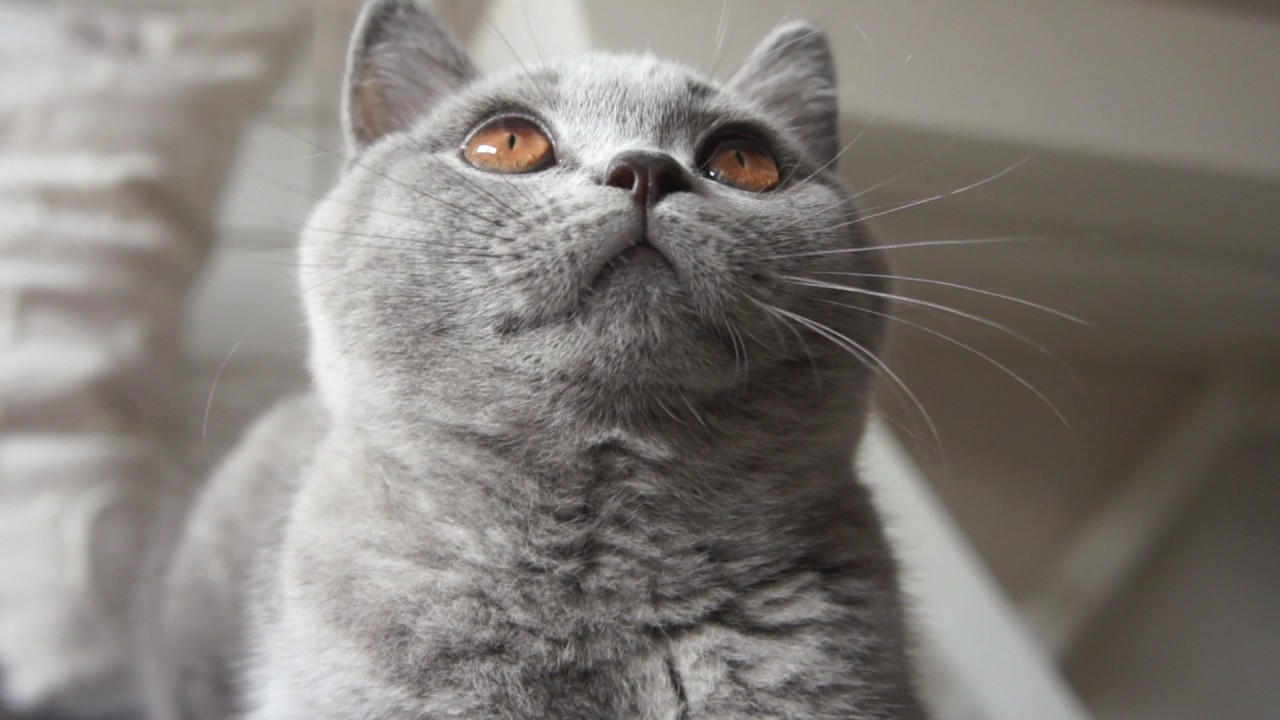 Gregory Fabienne i Garry Cooper mamy 3 m ce British Shorthair