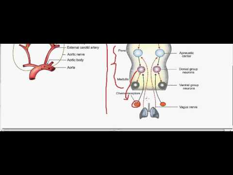 Regulation of respiration -- chemoreceptors -- part 2