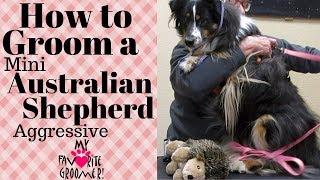 Grooming a Mini Australian Shepherd Aggressive