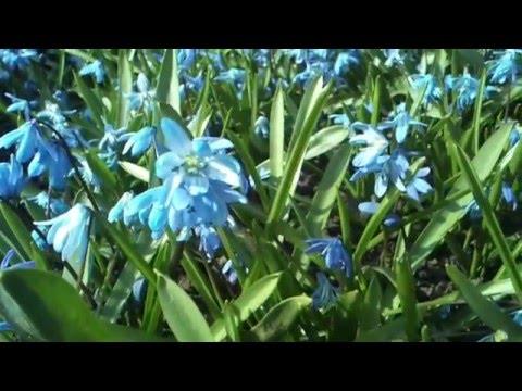 Пора цветения. Пролеска сибирская - Scilla sibirica