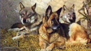 German Shepherd Raised with Wolves