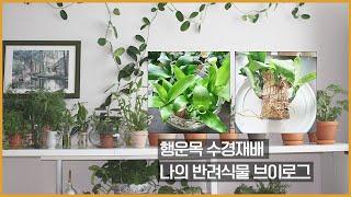 행운목 수경재배 반려식물 키우기