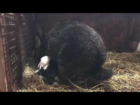 Крольчиха Флаундер, кормит крольчат ночью, в США