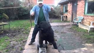 Berkeley And Blue Newfoundland Dog Tricks Movie
