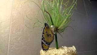 再一次拍黃斑蝶羽化這次覺得拍得不錯^_^