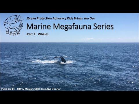 Marine Megafauna Series Part 2:  Whales!