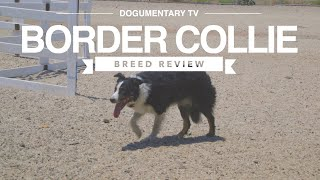 BORDER COLLIE BREED REVIEW