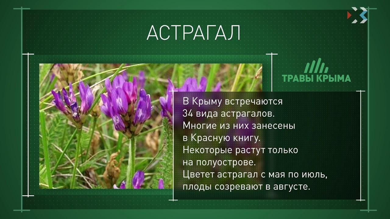 Астрагал шерсистоцветковый в народной медицине применяется для лечения многих заболеваний. Купить астрагал шерстистоцветковоый в москве и.