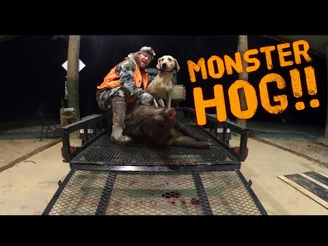 "MONSTER WILD HOG 😲😲😲""Trapping Hunting And Tracking"