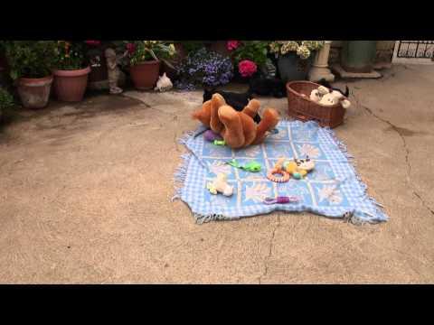 Little Rascals Uk breeders New litter of Pedigree Scottish Terriers