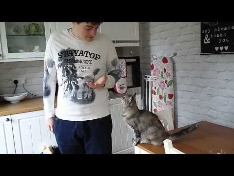 Burmilla Cat Asking to be petted, too cute!!!