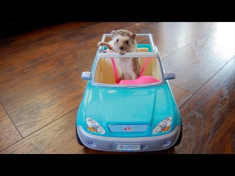 Hedgehog Drives Car?! - Cute And Funny Hedgehog Compilation