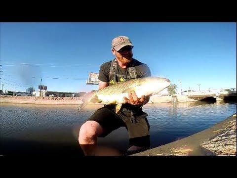Grass carp on the fly phoenix az youtube for White amur fish