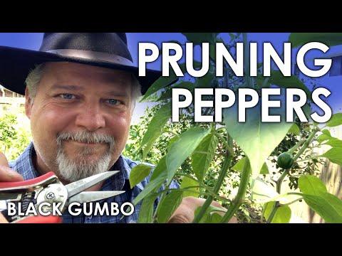 Pruning Pepper Seedlings for Maximum Production 2.0    Black Gumbo