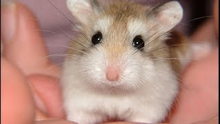 Funny Hamsters - A Cute And Funny Hamster Videos Compilation 2017