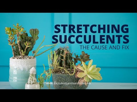 Stretched Out Succulents: The cause and fix