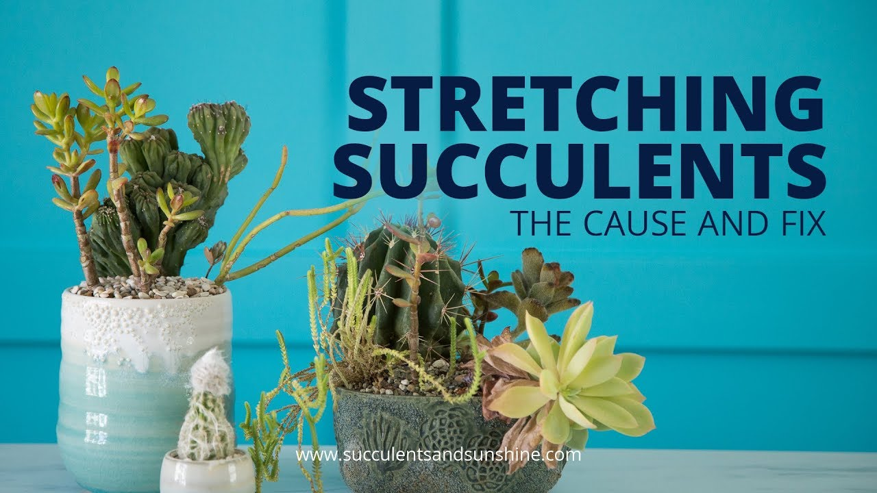 Stretched Out Succulents The Cause And Fix
