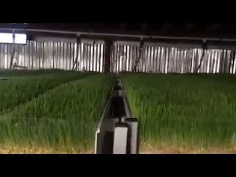 Growing Hydroponic Barley Sprouts (fodder)