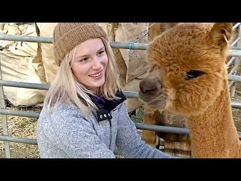 Производители шерсти альпака в Австралии не справляются со спросом