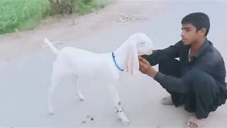 Category: rajanpuri goat - Funny Videos, Movies india, TV