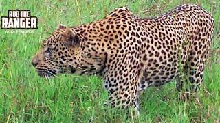 Leopard Stalks Warthog And Fails