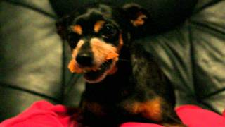 Miniature Pinscher Damon Holding His Cookie And Growling
