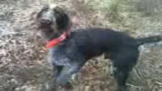 Drahthaar Training 101 Retriever Pointer Best Versatile Hunting Dogs