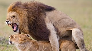 Wild Animals Mating 2015 ♥♥♥ Lion Mating Compilation 2015 HD ✤✓