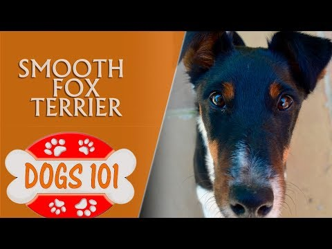 Dogs 101 - Smooth Fox Terrier - Top Dog Facts About the Smooth Fox Terrier