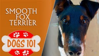Dogs 101  Smooth Fox Terrier  Top Dog Facts About the Smooth Fox Terrier