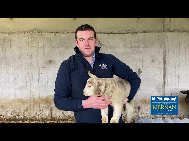 Early Lambing Ewes