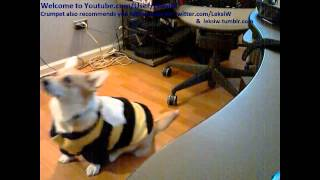 Tailed Corgi Crumpet Does Tricks In Bumble Bee Costume