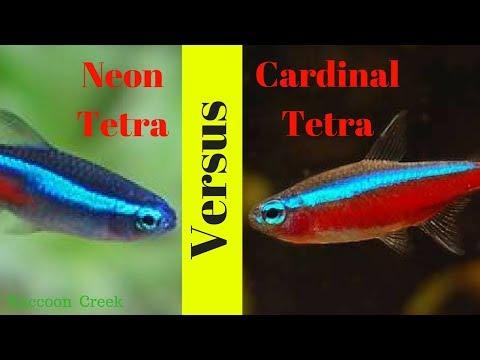 Neon Tetras Vs Cardinal Tetras- How To Keep Them Long Term