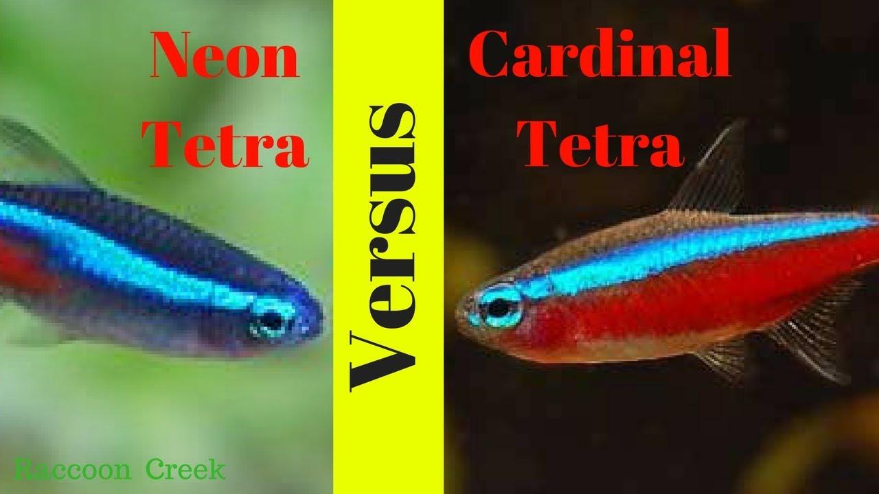 Cardinal Tetra | Neon Tetras Vs Cardinal Tetras How To Keep Them Long Term Youtube