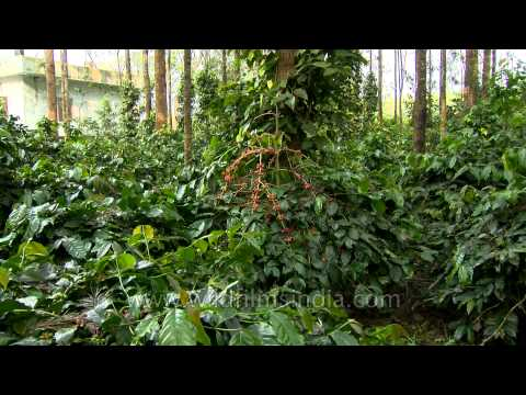 Coffee Plantations in Karnataka