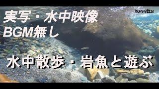 標高1000メートルの源流での岩魚水中映像。 撮影場所:岐阜県飛騨地方 ...