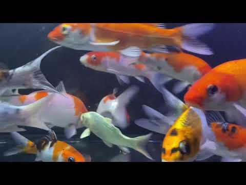 錦鯉の水槽(No.86) Nishikigoi aquarium (No.86)