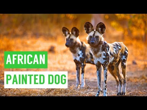 African PAINTED Dog Puppies Playing and Swimming Compilation